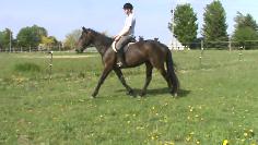 irish draught sport horse filly