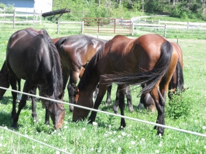 Halcyon Acres horses