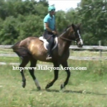 Registered Irish Draught Sport Horse mare for sale