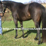 Irish Draught Sport horse for sale